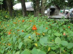 Jewelweed in soaps and balms is great for poison ivy. #native plants, jewel weed,# poison ivy