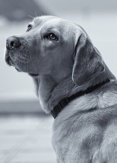 A Faithful Companion, yellow lab. Reminds me very much of our long gone Beau Jest.