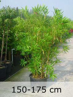 Nerium Oleander / Oleander - kompakter Strauch mit auffällig gefärbten Blüten. Sehr gut als Kübelpflanze geeignet mit tollem Duft und sehr leckerer Frucht.
