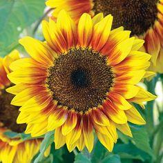 Sunflower Solar Flash - Annual Flower Seeds
