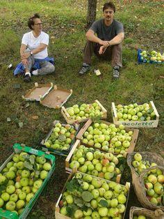 @ClanPapille per La Mela di AISM  @GiulioNepi @alxricci e @Mangiamiele Le mele dell'Associazione Italiana Sclerosi Multipla tornano per raccogliere fondi per la ricerca scientifica