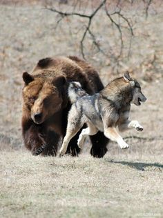 Bear chasing off a wolf.  (Photographer unknown)