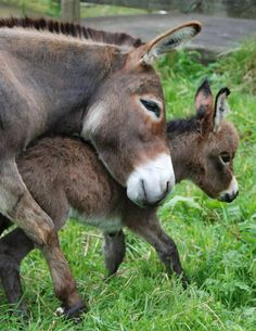A mother's love. Courtesy: Clovercrest Miniature Donkey Stud, Pukekohe (New Zealand).