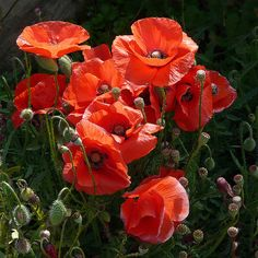 Poppies--a Symbol of Remembrance