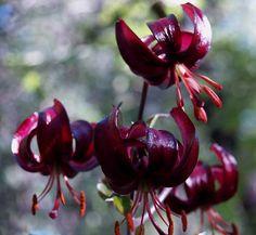 Lilium martagon 'Sarcee'