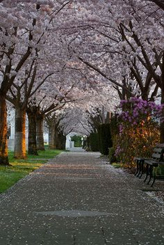 Cherry Blossoms on Willamette University's campus in Salem, Oregon.