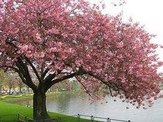 Flor de cerejeira, flor símbolo do Japão.