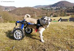 Joep is a 12-year-old pug with back problems, but he isn't letting that stop him from conquering a hike up this beautiful hill in Germany! #NewWheelsWednesday @estellanutella37bijna38