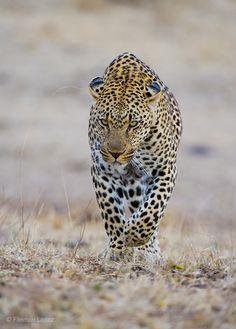 Africa |  'Silent Stalker' by Filemon Lopez.