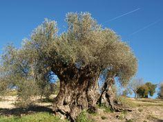 Mejor olivo 2014