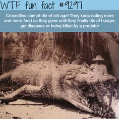 """Huge 8 meter Crocodile shot in Australia. (Is it just me, OR do Giant """"SIZED"""" Creatures live in Australia?) - WTF fun facts why did they shoot it? Wtf Fun Facts, True Facts, Funny Facts, Random Facts, Odd Facts, Strange Facts, Pokerface, Animal Facts, Animal Memes"""