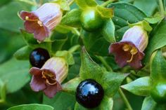 Belladonna. Highly poisonous plant dangerous to ingest, but pretty to look at.