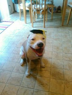 Pit bull our pit graduated obedience training at scotch pines Meridian ID SOOO PROUD!