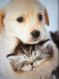 puppies and kittens / puppies and kittens . puppies and kittens together . puppies and kittens videos . puppies and kittens together so cute . puppies and kittens cute . puppies and kittens birthday party . puppies and kittens funny Kittens And Puppies, Cute Cats And Dogs, Cute Puppies, Cats And Kittens, Adorable Kittens, Pomsky Puppies, Cute Pets, Puppy Goldendoodle, Cute Animals Puppies