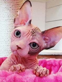 Sphynx Kitty with freshly washed ears ; Pretty Cats, Beautiful Cats, Animals Beautiful, I Love Cats, Crazy Cats, Cool Cats, Japanese Bobtail, Sphynx Gato, Spinx Cat