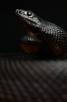 ♂ Black snakes