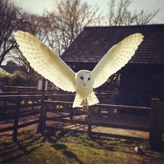 Incoming! #barnowl #owl Instagram-Foto von @alex.perry.108 •