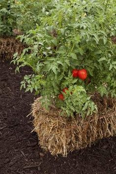 When the tomatoes are ripening they can need a lot of water. Check out this slick system for keeping your straw bale garden watered.