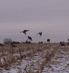 goose hunting | Top Four Waterfowl Hunting Tips | CollegiateCamo.com Blog