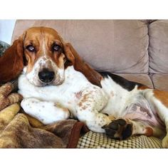 Yeah, sometimes you get bloated, OK? Nobody's perfect. | 38 Signs You're A Basset Hound
