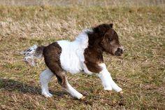 Mini pinto foal