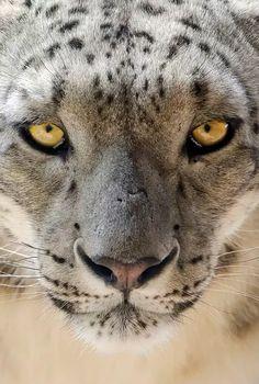 Foto: Amazing view Eye to eye with young Snow leopard!    Grandes felinos Incluye a las cuatro especies de felino en el género Panthera: el león (Panthera leo), tigre (Panthera tigris), leopardo (Panthera pardus) y el jaguar (Panthera onca). Los miembros de este género son los únicos capaces de rugir, y esto se considera como un elemento característico de los grandes felinos Todos los felinos son eficientes depredadores carnívoros. Su rango de distribución incluye América, África, Asia y…