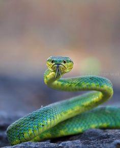 Bamboo Pit Viper #snakes #reptiles #topanimals