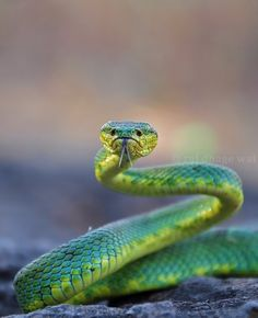 bamboo pit viper by raj dhage on 500px