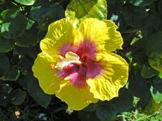 Yellow and pink hibiscus