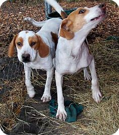 #WashingtonDC   ►►#NeedsFOSTER ◄◄   Beanbag is 1.5 years old, 35 lbs Foxhound / Beagle who's a sweet wiggly girl who loves to give kisses. She's good with other dogs & house trained. Can U #foster this adorable pup, starting immediately, in the DC/MD/VA area ?    Approved fosters, email CITY DOGS RESCUE at foster@citydogsrescuedc.org or New fosters, apply: http://www.citydogsrescuedc.org/foster.html