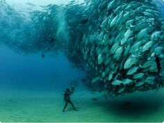 - * Whirling Fish * - Image : Octavio Aburta - Diver : David Castro of Cabo Pulmo National Park, Mexico - From : The Grosby Group -