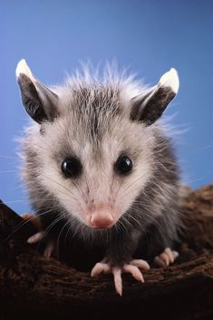 Baby Possum ~ This is the stage where they're the cutest and most curious. And they just love to clamber, climb and cuddle Hamsters, Nature Animals, Animals And Pets, Beautiful Creatures, Animals Beautiful, Cute Baby Animals, Funny Animals, Baby Opossum, Wale