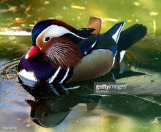 A coloured looking duck attends at an open air lake at the zoo... #pazardzhik: A coloured looking duck attends at an open air… #pazardzhik