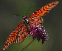 Fritillary butterfly nectaring on purple flower in butterfly garden designed by Brent Knoll of Knoll Landscape Design