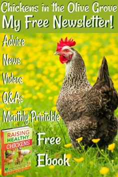 Backyard chicken news, information and tips about care, coops and hatching. Join my newsletter and get a free monthly tasks printable checklist - plus my free ebook about raising chickens the natural way. Incubating Chicken Eggs, Chicken Facts, Raising Ducks, Raising Backyard Chickens, Chicken Treats, Urban Homesteading, Important Facts, Coops, Predator