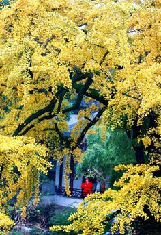 400 year old ginkgo tree in the classical Lion Forest Garden in Suzhou, east China's Jiangsu Province November 28. Leaves turn yellow in the early winter
