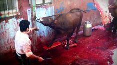 'Festival of Sacrifice' live export investigation 2014 | TAKE ACTION