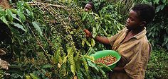 Fairtrade coffee bean farmers, helping them become independant while delivering us tasty coffee Good Fellows, Fair Trade Coffee, International Development, Expo 2015, Uganda, Agriculture, Believe, Prayers, Factors