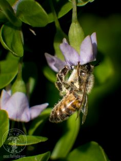 Macrophotography of bee  www.fluffydog.pics Image copyright A L I Sims 2016