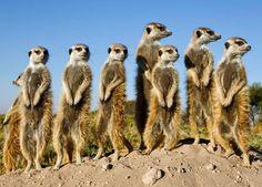 O suricata, também chamado de suricato é um pequeno mamífero da família Herpestidae, nativo do deserto do Kalahari. Estes animais têm cerca de meio metro de comprimento, em média 730 gramas de peso, e pelagem acastanhada. Wikipédia