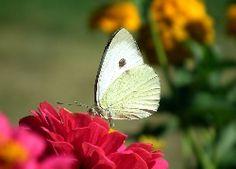 Motyl, Bielinek, Kwiat, Cynia