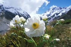 Image result for mount cook lily
