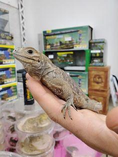 The Fall 2019 Wasatch Reptile Expo Recap — ReptiFiles' Top Lizards, Reptiles, Rosy Boa, Milk Snake, Corn Snake, Rhinoceros, Pets, Animals, Animales