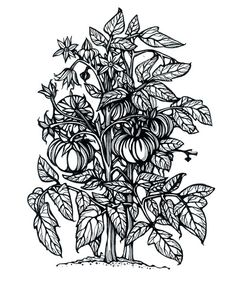 coloring pages of tomato plants - photo#30