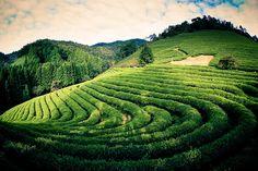 BoSeong Green tea farm.