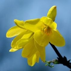 Step by step guide to growing Forsythias from cuttings.   This is very easy and can be done nearly anytime of the year. Forsythia cuttings is a great way to expand your flower...