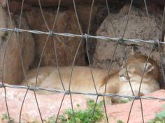 Cougar - Bear Country USA - Rapid City, South Dakota.  Shhhh, let it sleep!