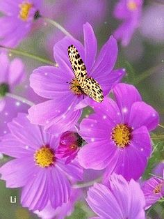 The perfect Butterfly Animated GIF for your conversation. Discover and Share the best GIFs on Tenor. Cosmos Flowers, Flowers Gif, Butterfly Flowers, Beautiful Butterflies, Amazing Flowers, Beautiful Flowers, Lavender Flowers, Butterfly Video, Gif Animé