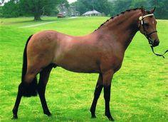 Woodview Filidori -British Riding Pony Stallion AI Services