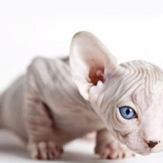 mystical creature - sphynx cat